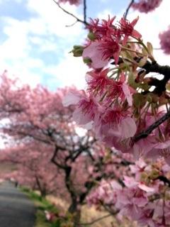 河津桜をみてきました!