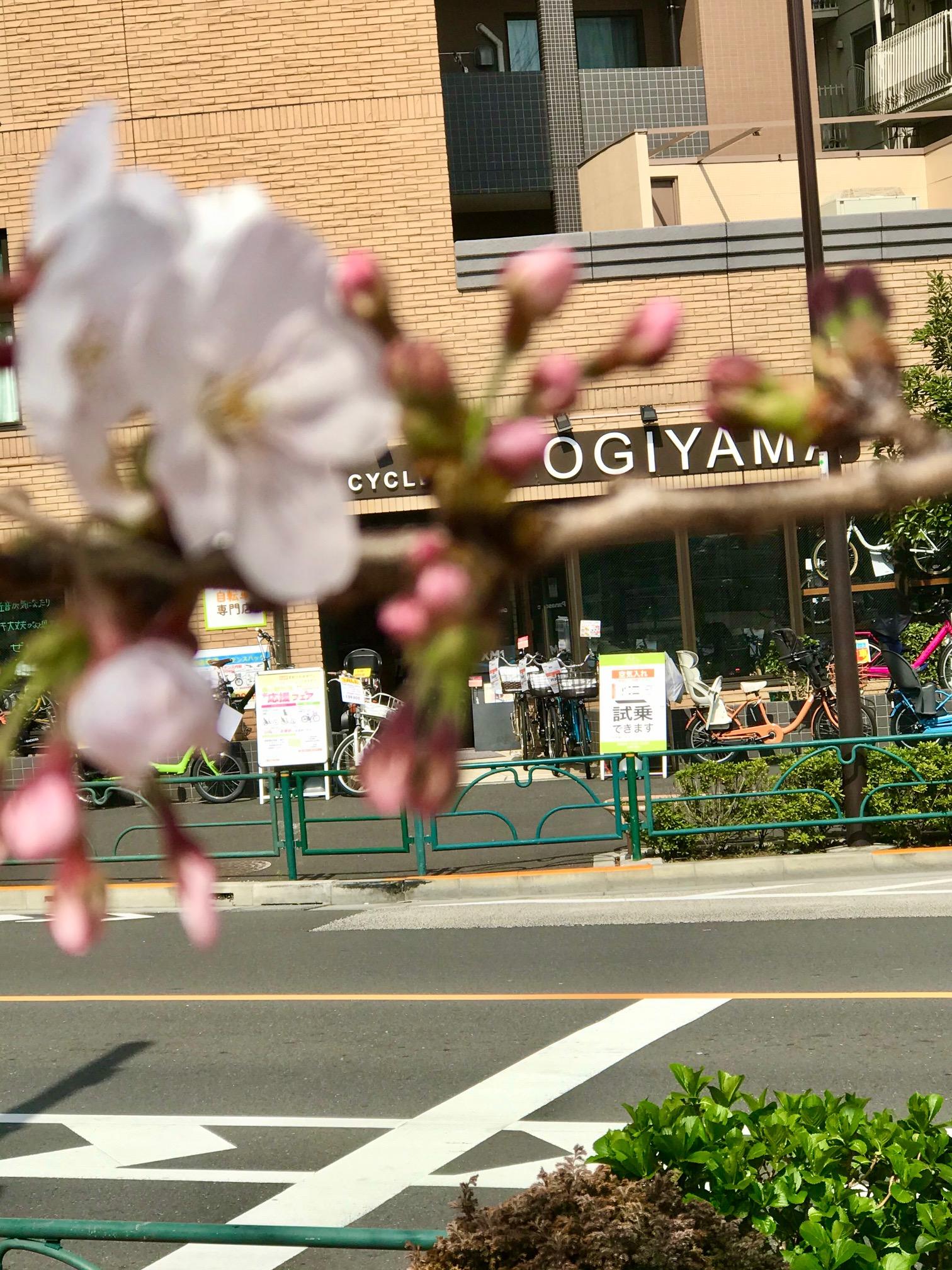 大井町店から 桜 観察中!